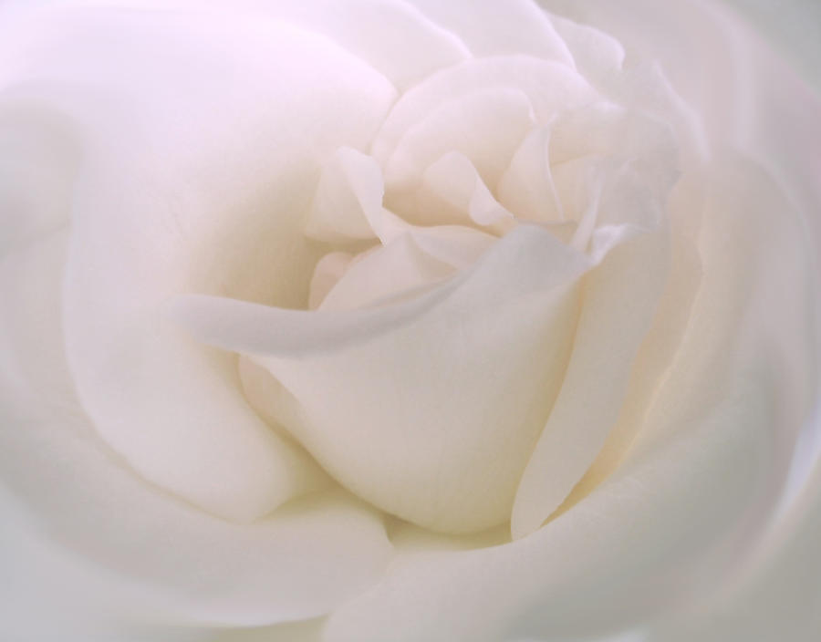 Softness Of A White Rose Flower Photograph