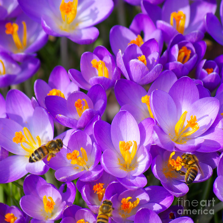 Crocus Photograph - Springtime by Angela Doelling AD DESIGN Photo and PhotoArt