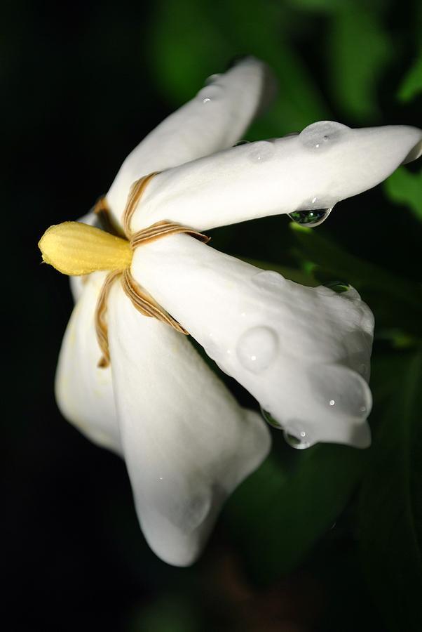 Gardenia Photograph - Sun Kissed Gardenia by Kelly Nowak