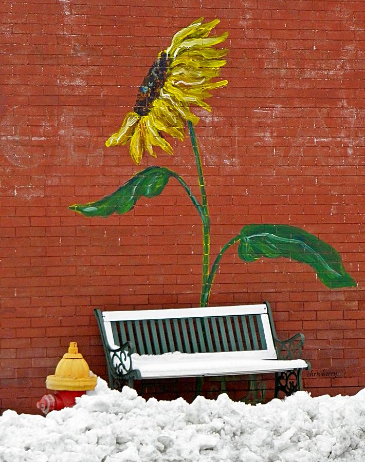 Sunflower And Snow Photograph