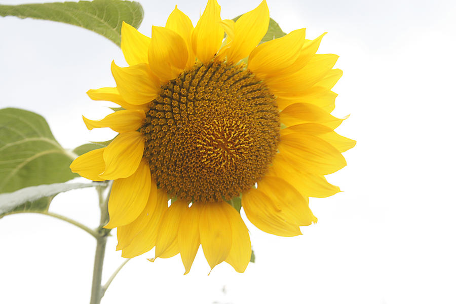 Sunflower Salutation  Photograph  - Sunflower Salutation  Fine Art Print
