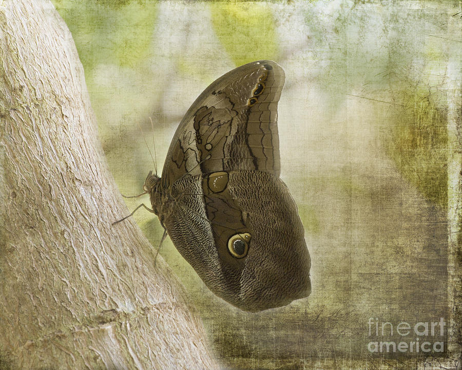 Tawny Owl Butterfly #2 Photograph