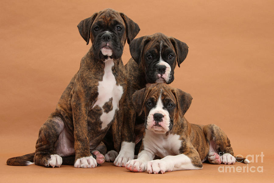 Nature Photograph - Three Boxer Puppies by Mark Taylor