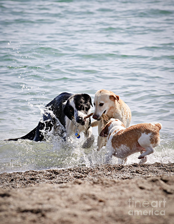 Three Dogs Playing On Beach Photograph