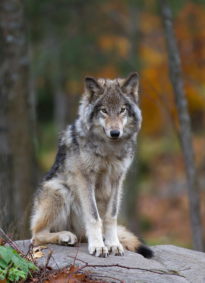 Timber Wolf Photograph