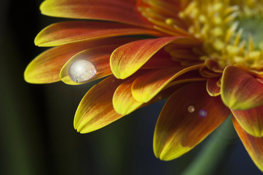 Waterdrop On A Gerbera Daisy Petal Photograph  - Waterdrop On A Gerbera Daisy Petal Fine Art Print