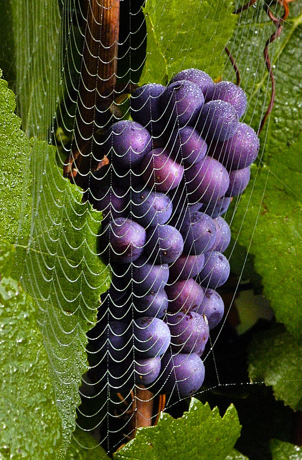 Wine In A Web Photograph  - Wine In A Web Fine Art Print