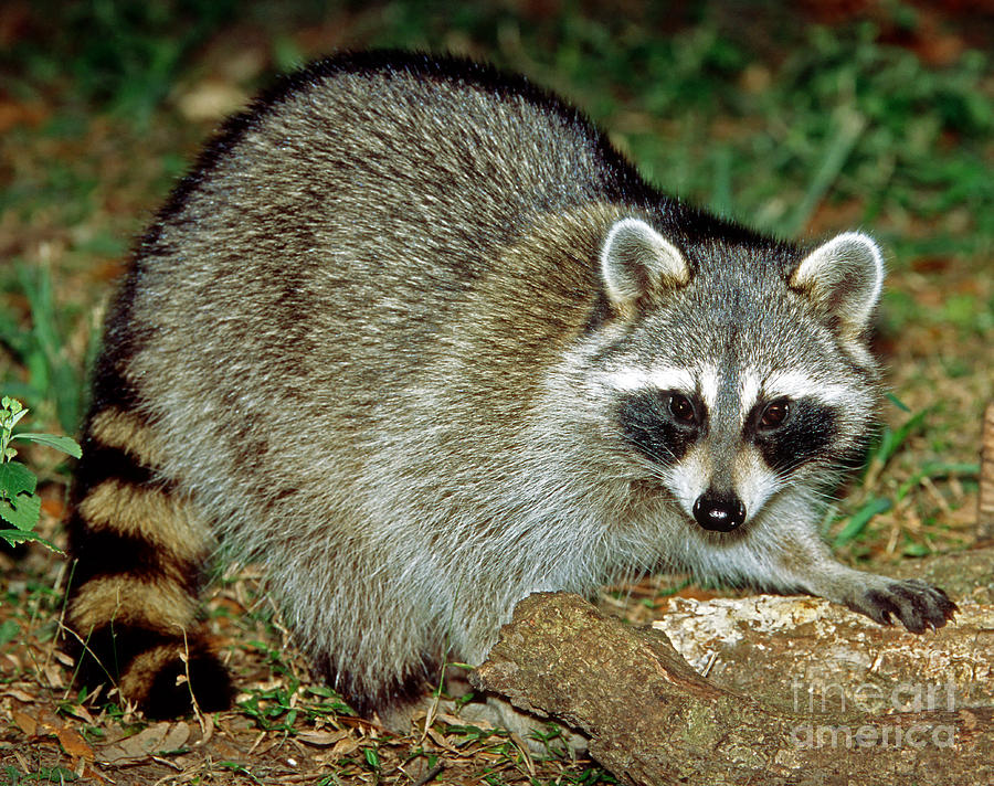 Fauna Photograph - Raccoon by Millard H. Sharp