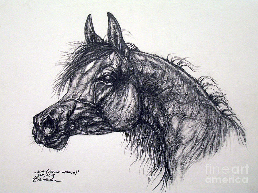Arabian Horse  Drawing  - Arabian Horse  Fine Art Print