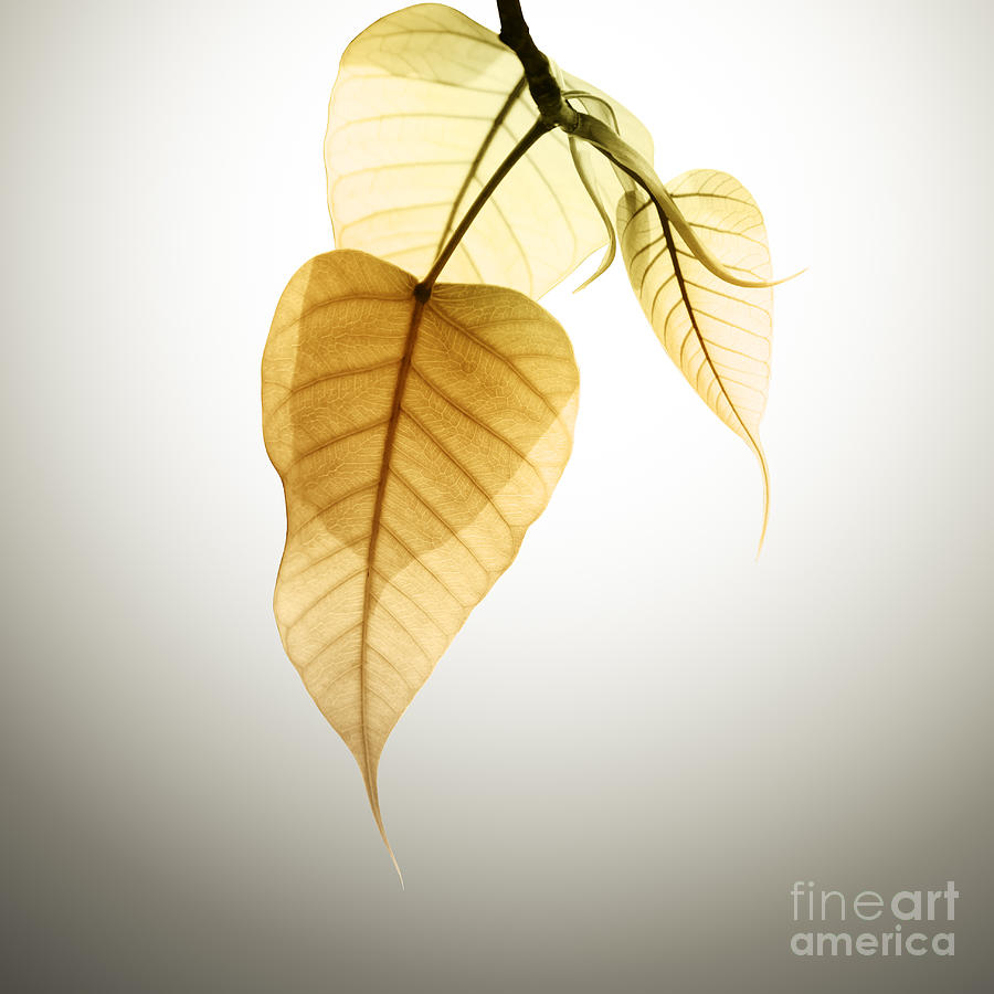 Pho Or Bodhi Photograph  - Pho Or Bodhi Fine Art Print