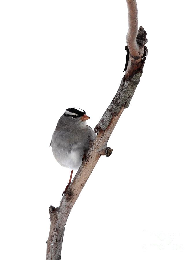 White-throated Sparrow Photograph  - White-throated Sparrow Fine Art Print