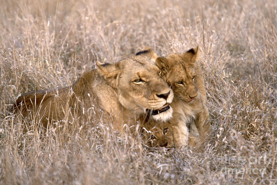 African Lion And Cub Panthera Leo Photograph By Art Wolfe