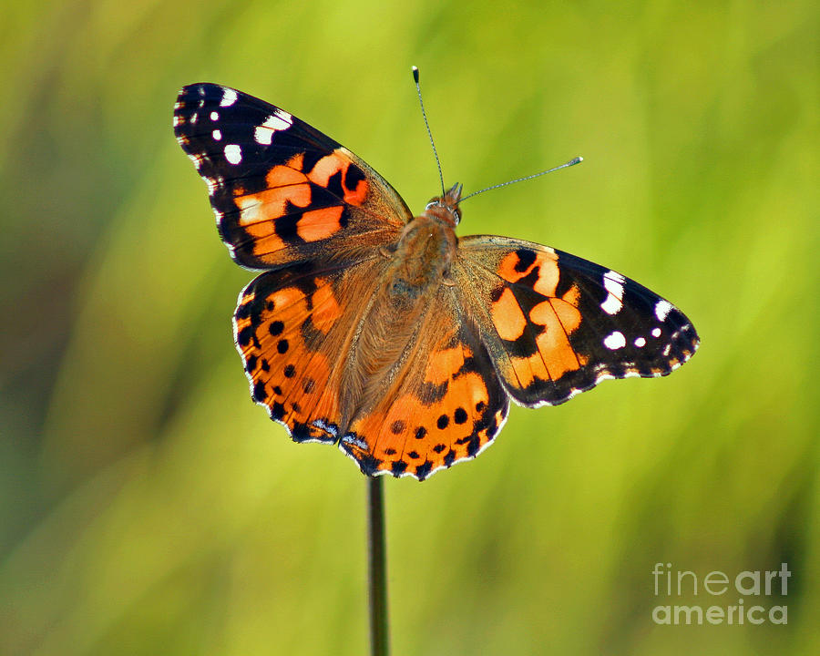 American Painted Lady Butterfly Photograph  - American Painted Lady Butterfly Fine Art Print