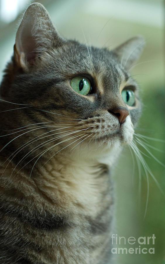 American Shorthair Cat Profile Photograph