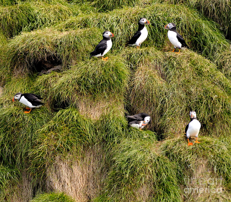 Atlantic Puffins In Newfoundland Photograph  - Atlantic Puffins In Newfoundland Fine Art Print