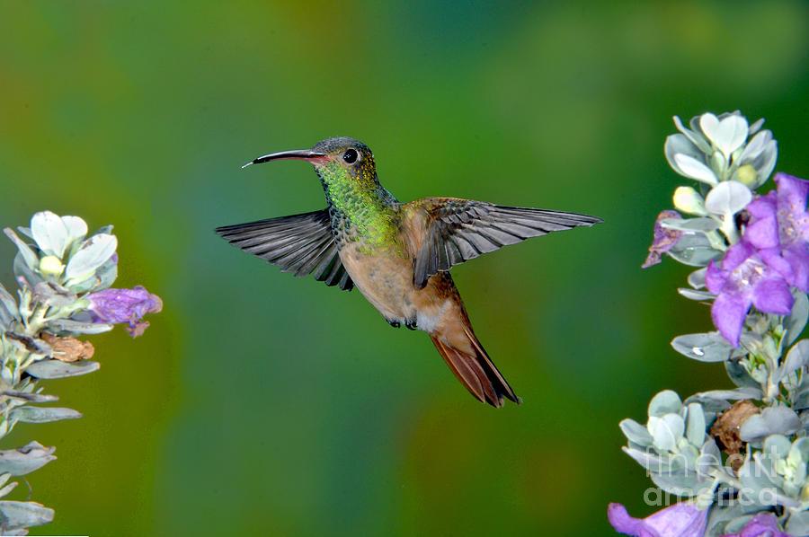 Amazilia Yacatanensis Photograph - Buff-bellied Hummingbird by Anthony Mercieca
