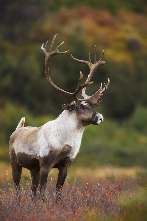Bull Caribou On Autumn Tundra In Denali Photograph By Milo