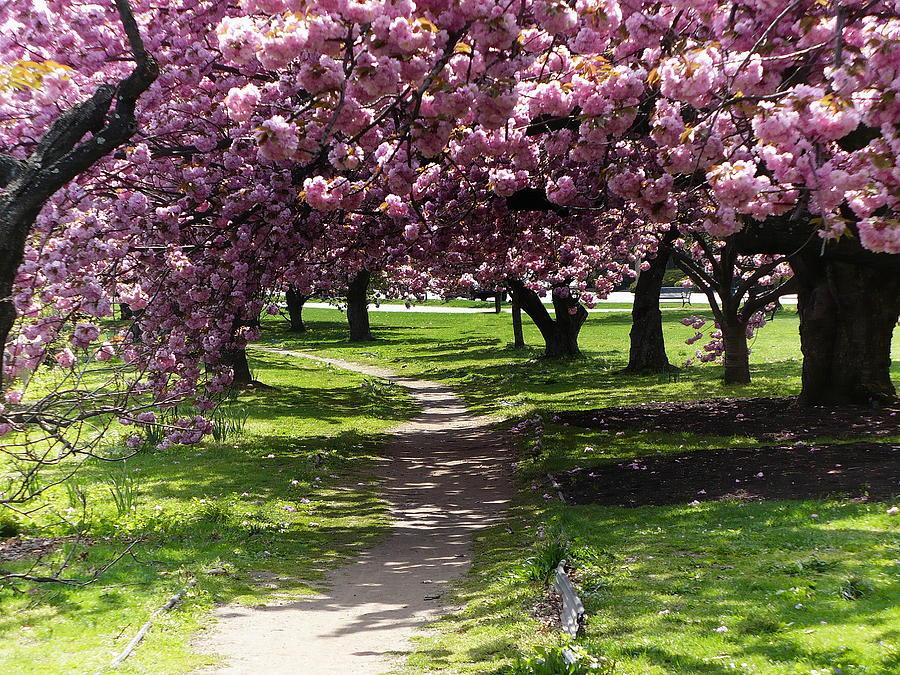 Cherry blossom trees by anthony dezenzio cherry blossom for Cherry trees for sale