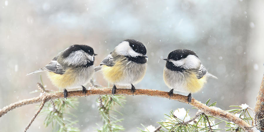 http://images.fineartamerica.com/images-medium-large-5/3-chickadees-on-a-snowy-day-peg-runyan.jpg