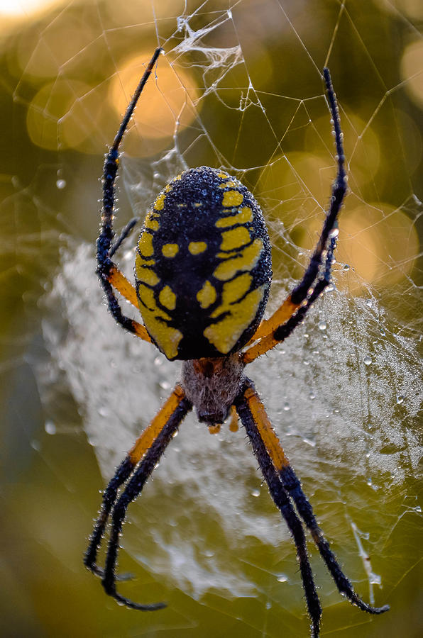 Corn Spider Photograph  - Corn Spider Fine Art Print