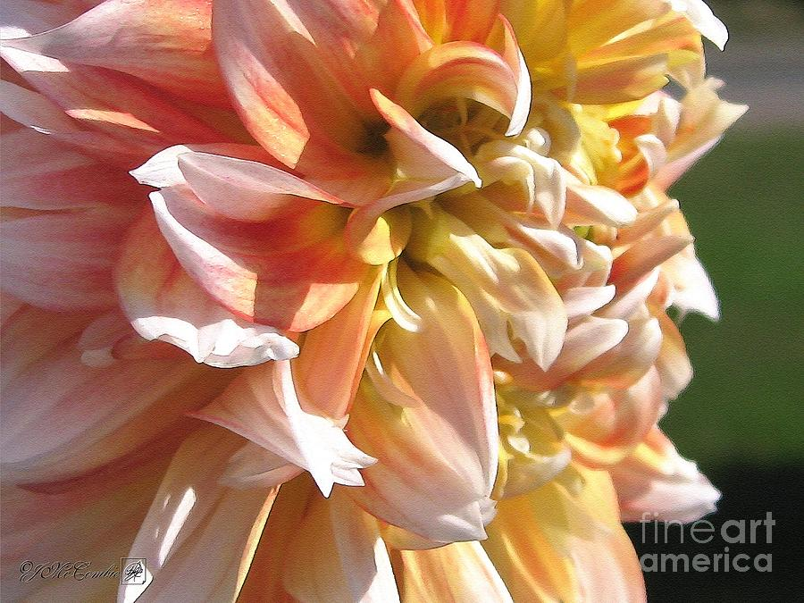 Dahlia Named Peaches-n-cream Painting  - Dahlia Named Peaches-n-cream Fine Art Print