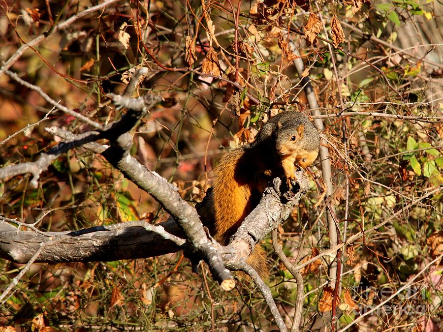 Eastern Fox Squirrel Photograph