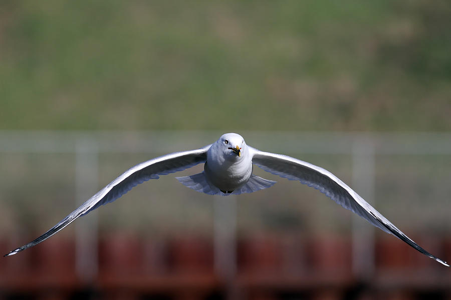 Gull Photograph  - Gull Fine Art Print