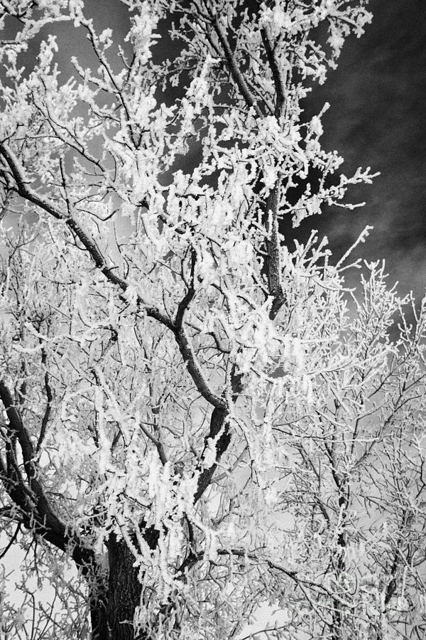 hoar frost on bare tree branches during winter Forget Saskatchewan Canada Photograph