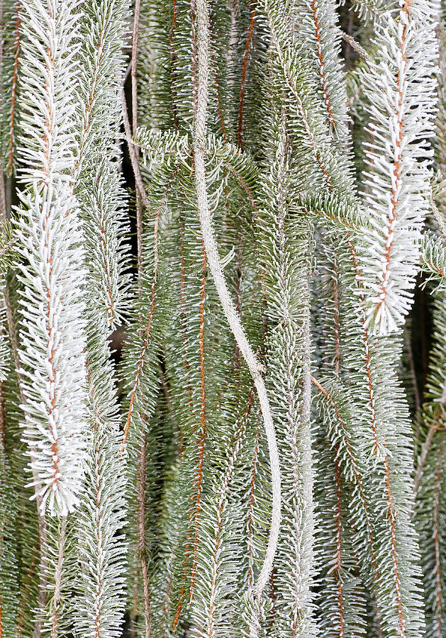 Hoar Frost Photograph