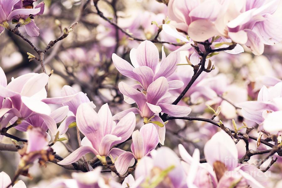 Magnolia Photograph - Magnolia by Jelena Jovanovic