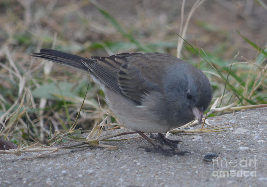 Male Dark Eyed Junco Photograph by Ruth Housley