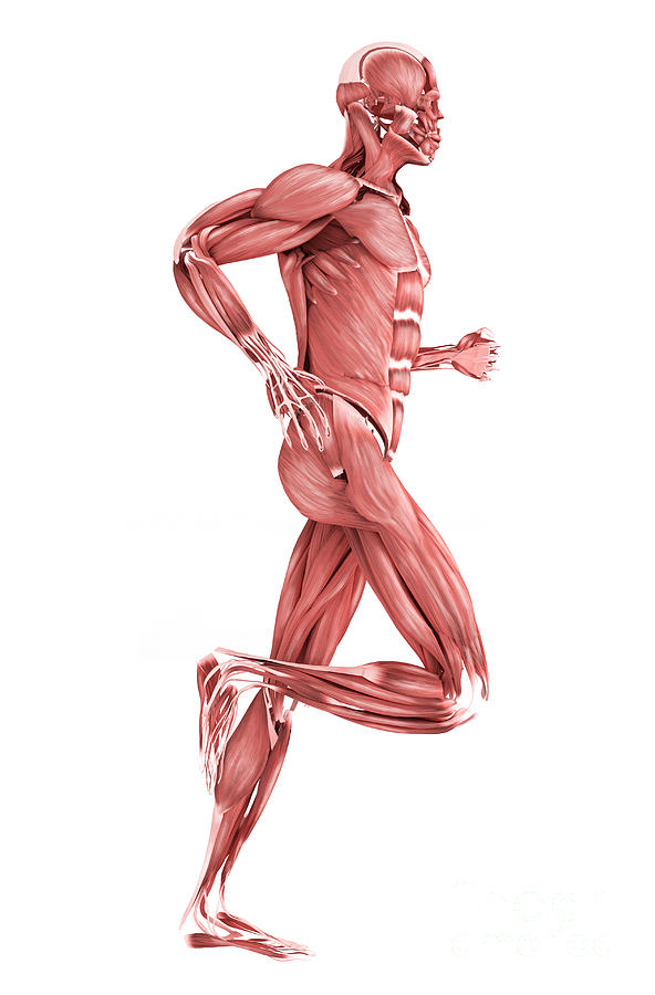 Medical Illustration Of Male Muscles Digital Art