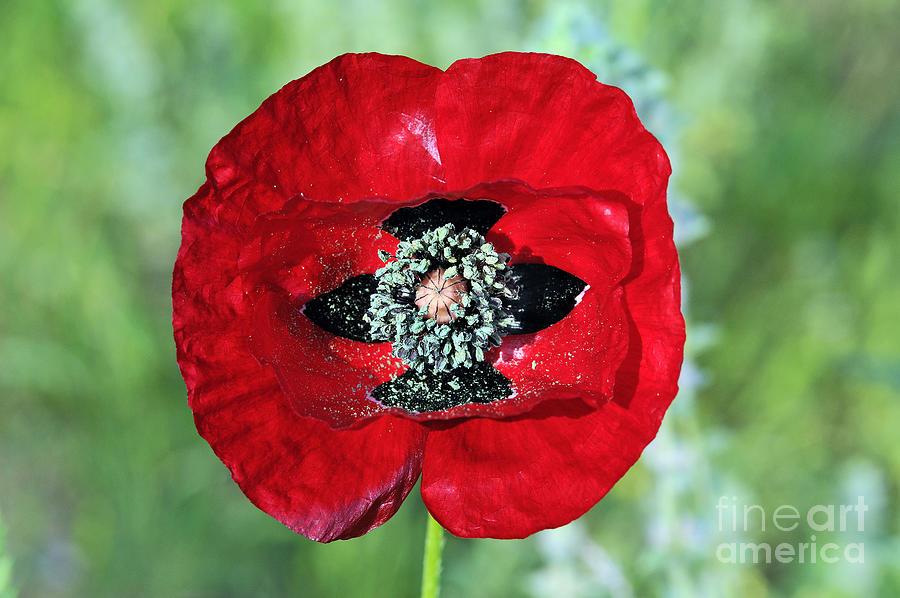 Poppy Flower Photograph