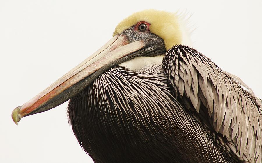 Pretty Pelican Photograph