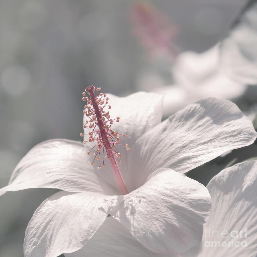 Pua Aloalo - Kokio Keokeo - Hibiscus Arnottianus - Hawaiian White Hibiscus Photograph