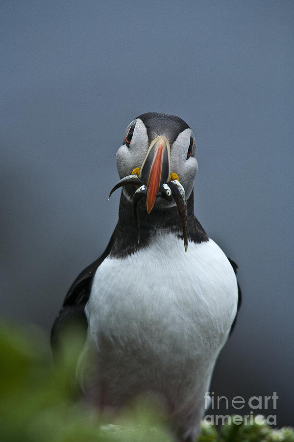 Puffin With Fish Photograph  - Puffin With Fish Fine Art Print