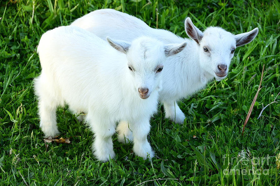 Pygmy Goat Twins Photograph