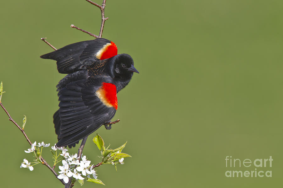 Red-winged Blackbird Photograph  - Red-winged Blackbird Fine Art Print