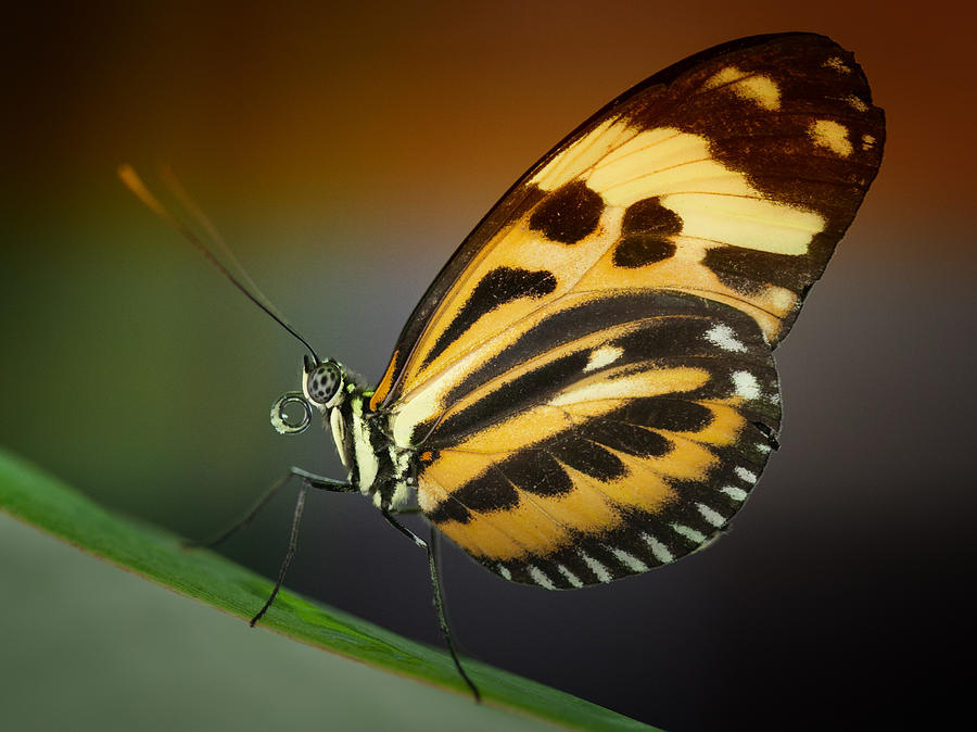 Resting Butterfly Photograph