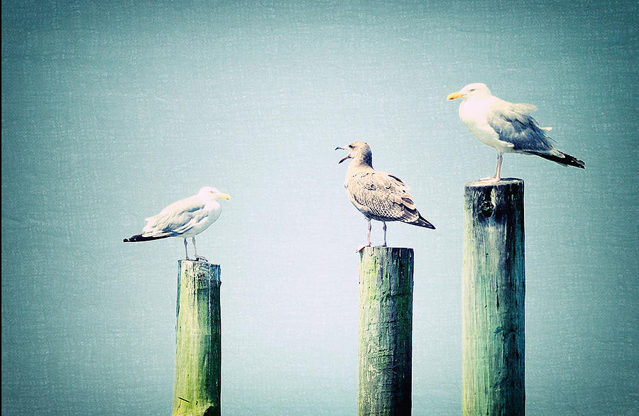 3 Seal Gulls Photograph