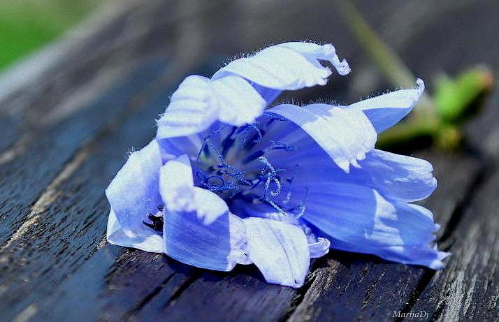 Flowers Photograph - Shy by Marija Djedovic