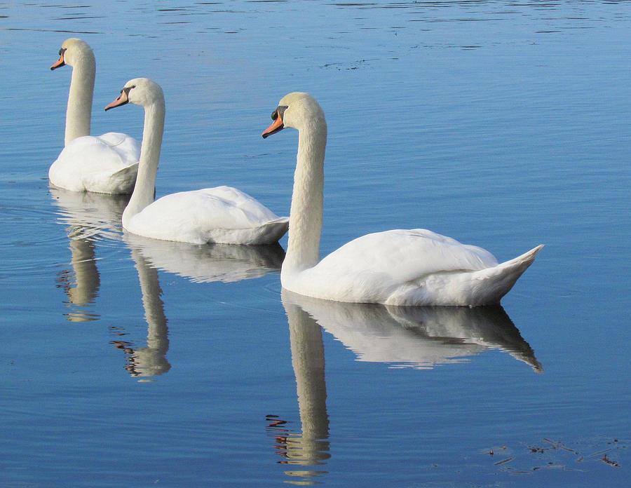 Swans Photograph - 3 Swans A-swimming by Lori Pessin Lafargue