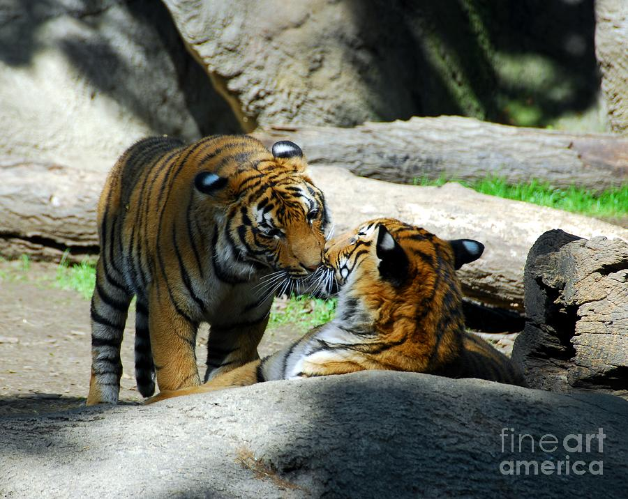 Tiger Love 2 Photograph