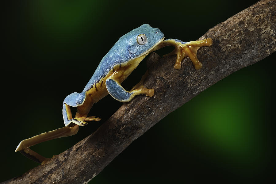 Tree Frog Climbing Photograph