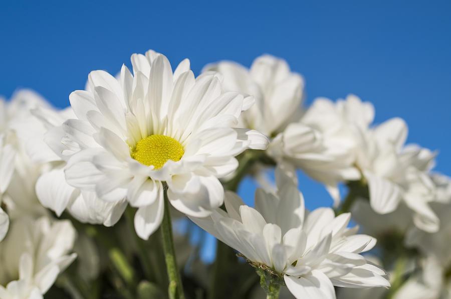 http://images.fineartamerica.com/images-medium-large-5/3-white-daisies-paulo-goncalves.jpg
