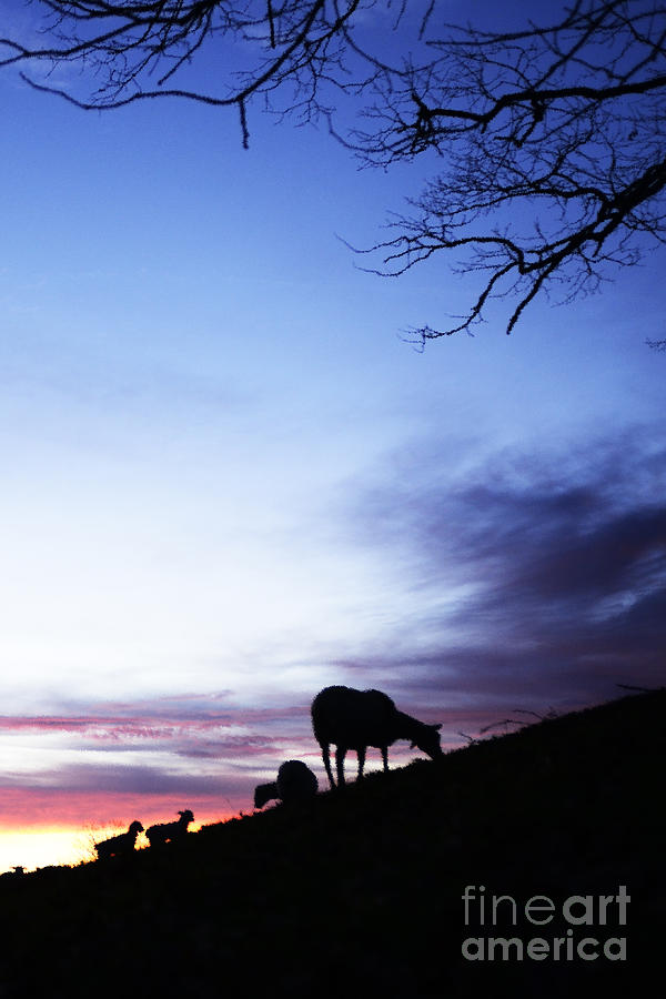 Winter Lambs And Ewes Sunrise Photograph  - Winter Lambs And Ewes Sunrise Fine Art Print