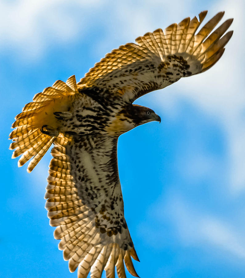 Photograph - Red-tailed Hawk by Brian Stevens
