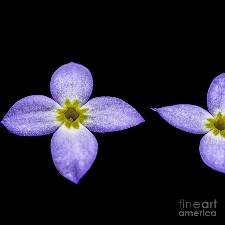 Bluets Photograph