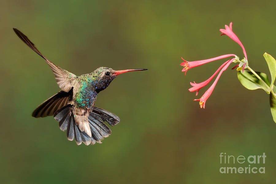 Birds Photograph - Broad Billed Hummingbird by Scott Linstead