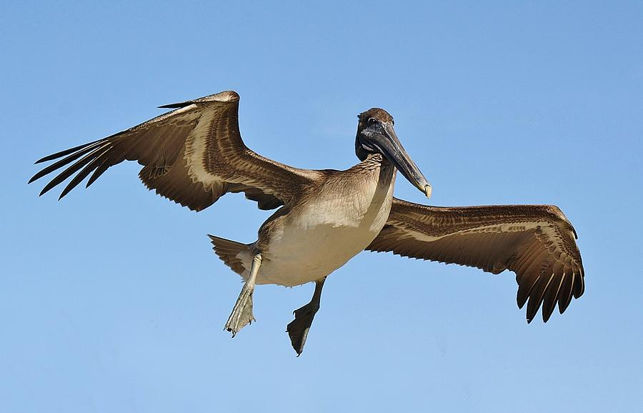 Brown Pelican In Flight Photograph
